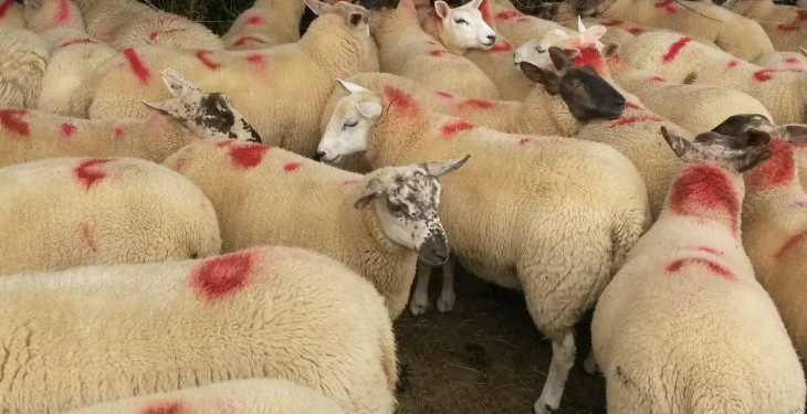 Improvement in sheep trade – Base quotes 450-470c/kg