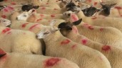 Factories move to lower spring lamb quotes