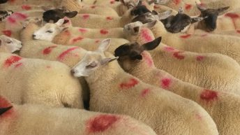 No movement in lamb price – Week-on-week sheep kill drops by 5%