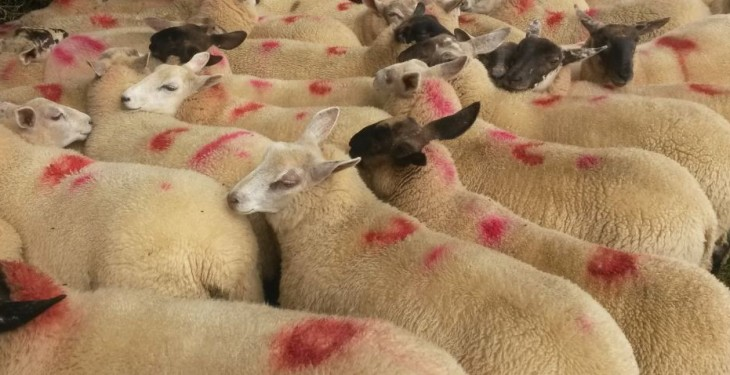 Sheep Marts – Buoyant store trade but heavier lamb numbers continue to fall