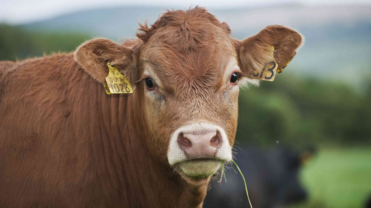 Anthrax disease responsible for death of cow in the UK