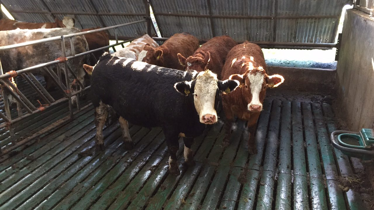 Cattle supplies set to fall – IFA says drop will bolster prices