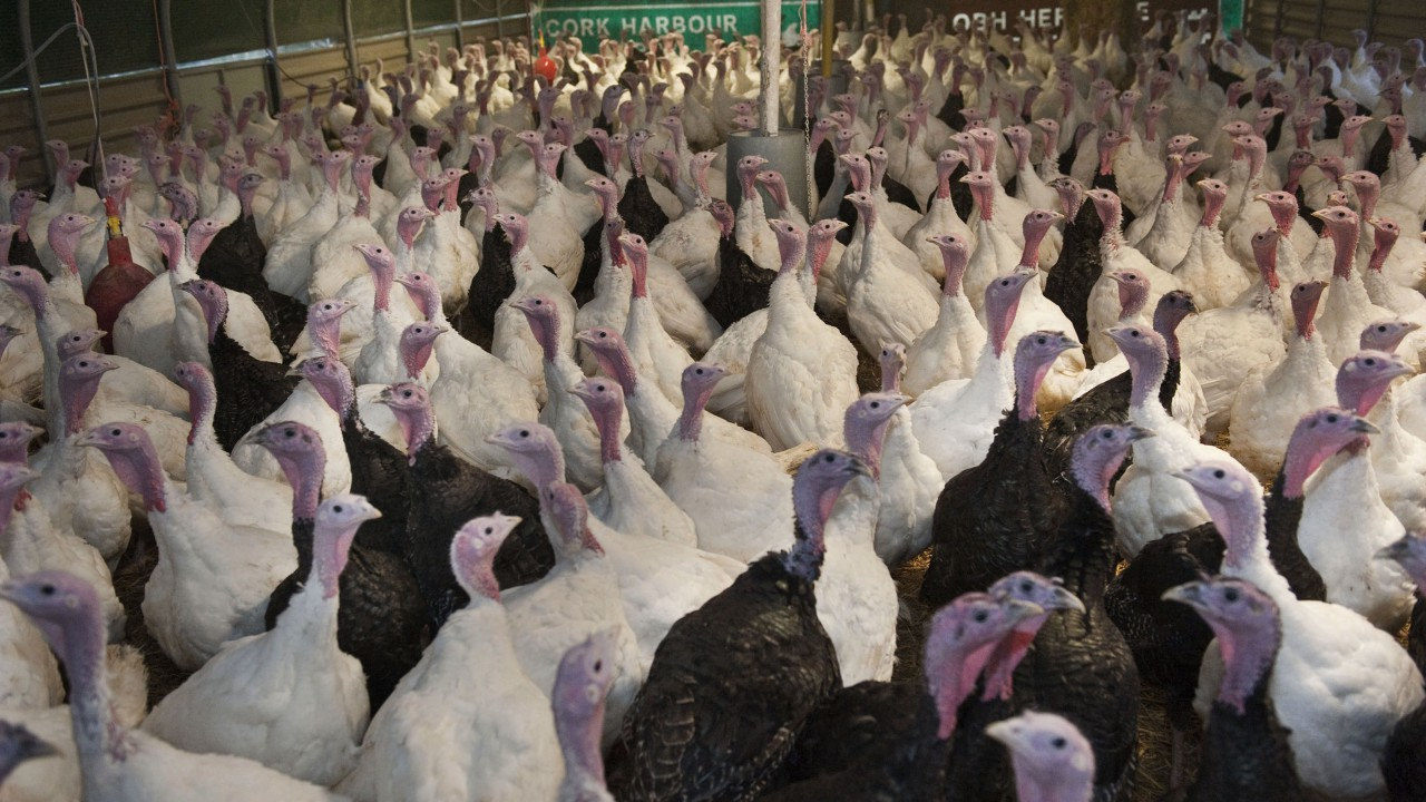 Turkey production opportunities abound for Irish farmers