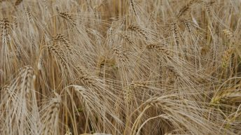 Boortmalt to meet IFA to negotiate malting barley prices