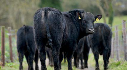 National beef kill back 75,000 head on last year