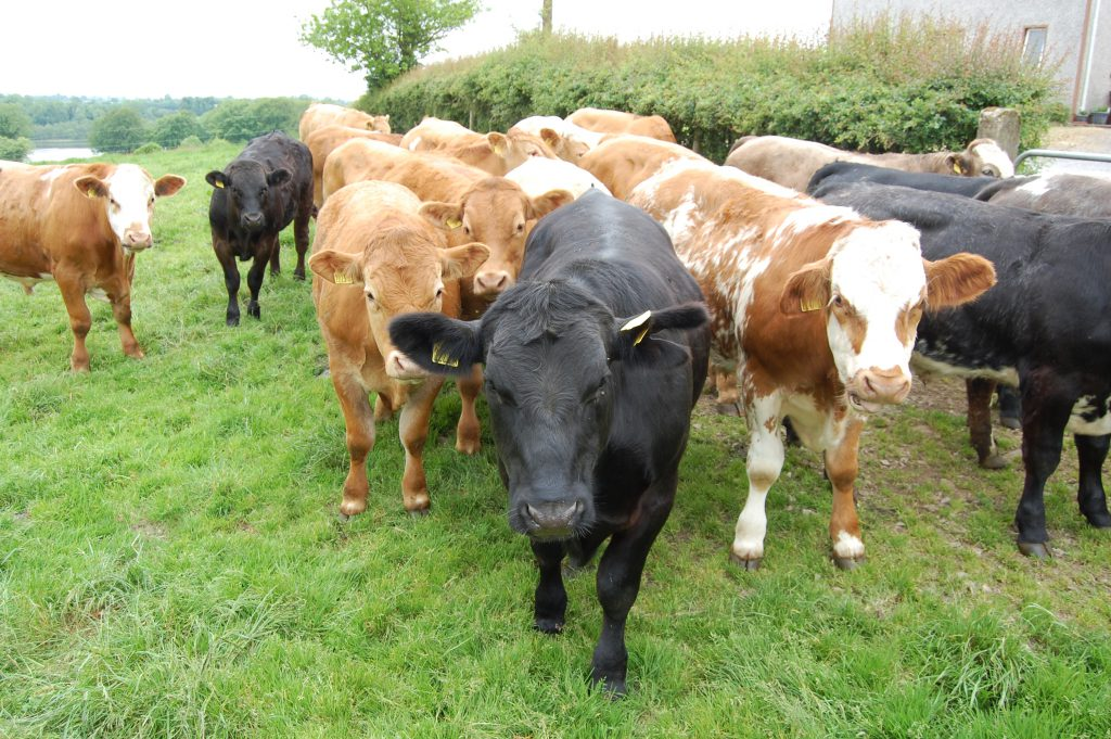 beef cattle a