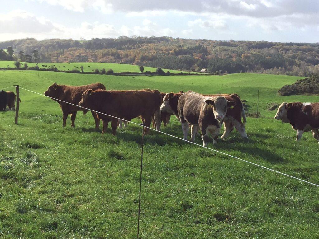 bulls at grass