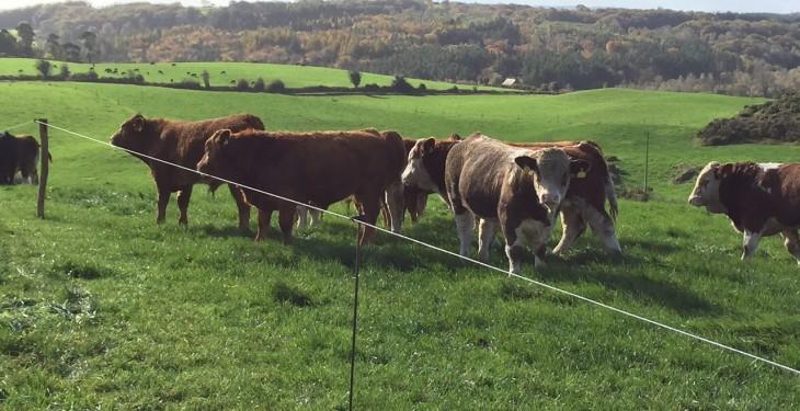 Week-on-week cattle throughput up by 5% – Beef kill still below 30,000 head
