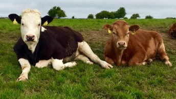 Average Irish R3 heifer price drops below EU average