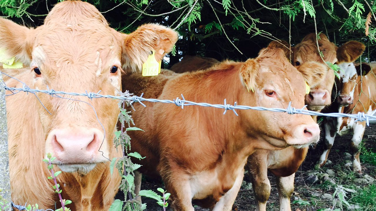 What does the rise of Lidl and Aldi in UK mean for Irish beef farmers?