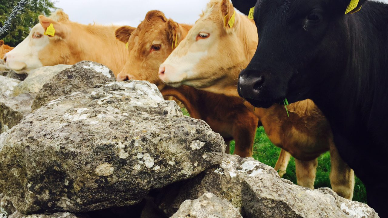 Beef price remains static, but E and U grade cattle 'hardest hit by weight cuts'