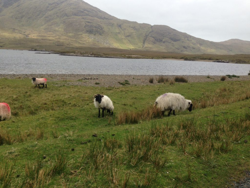 commonage lake sheep
