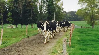 Number of dairy cows in the country up almost 8% year-on-year