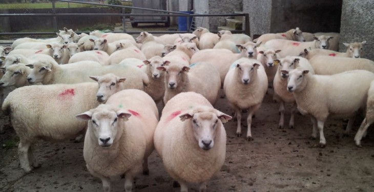 Sheep kill 10,000 head behind last year
