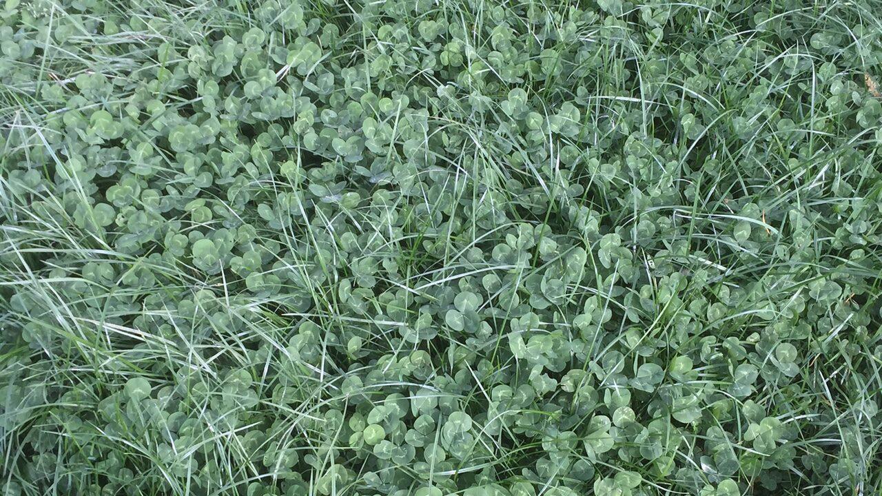 Grass-clover swards produce 55kg more milk solids/cow – Teagasc
