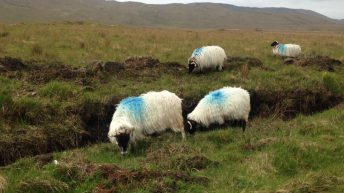 Department slammed over spring sheep inspections