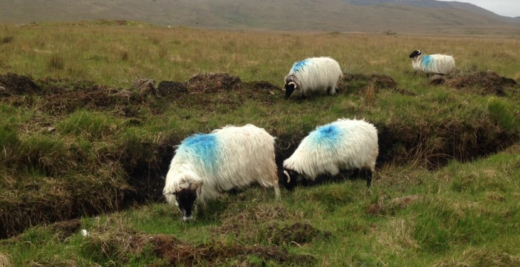 Sheep kill running 15,000 behind 2014 levels