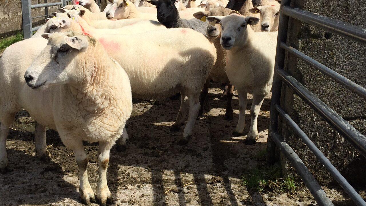 National sheep kill back 8,000 head on 2014 levels