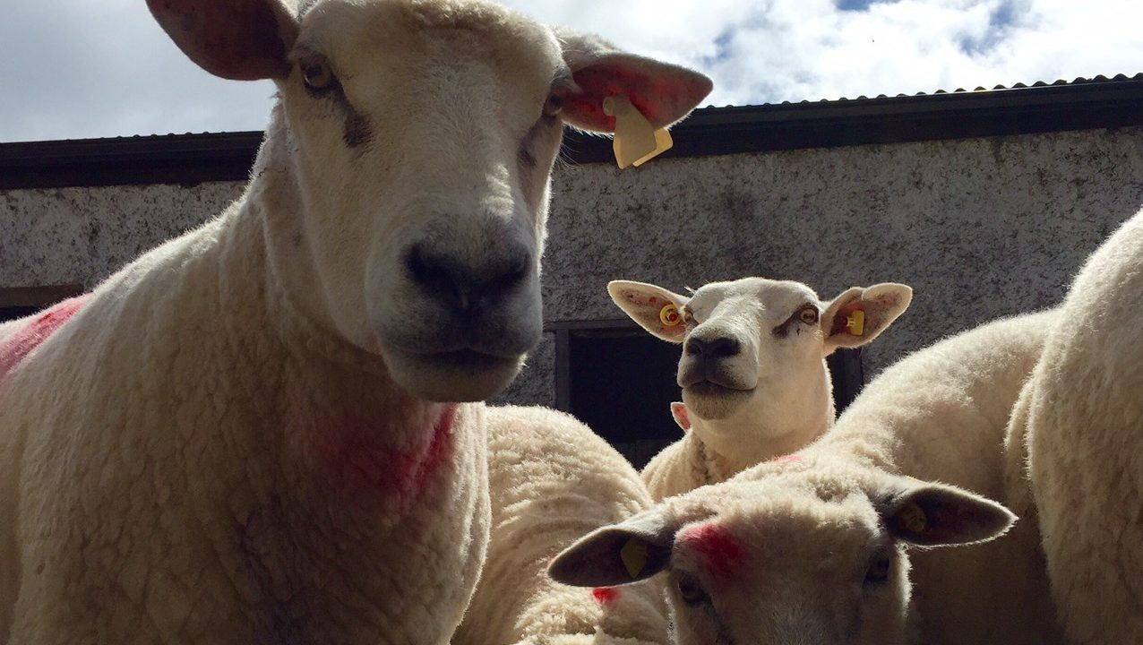 Sheep housing: What you should and shouldn't do