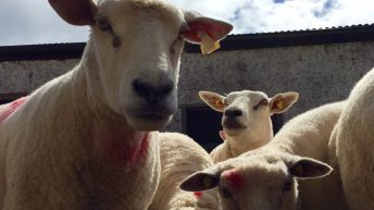 Sheep kill back 5,000 head – Weekly kill back 2%