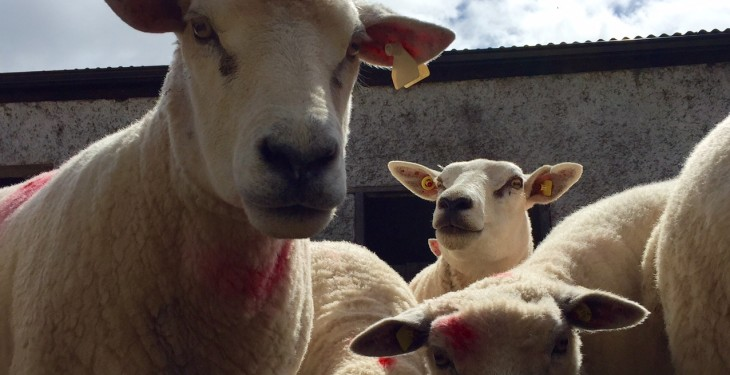 IFA to push for the introduction of direct sheep payments
