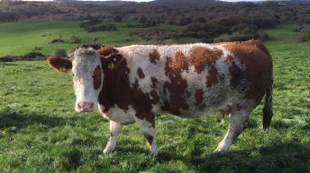 Imports of cull cows from Northern Ireland up 11% this year – LMC