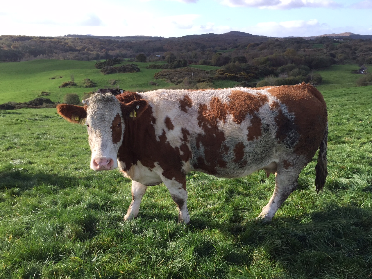 imports of cull cows from northern ireland up 11 this year lmc