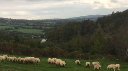Reduced supplies of spring lamb keeps trade steady – Base Quotes 450-460c/kg