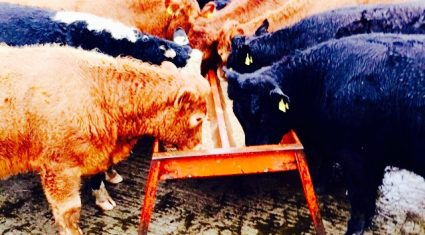 Slight increase on weekly beef kill figures, as young bull numbers lead the way