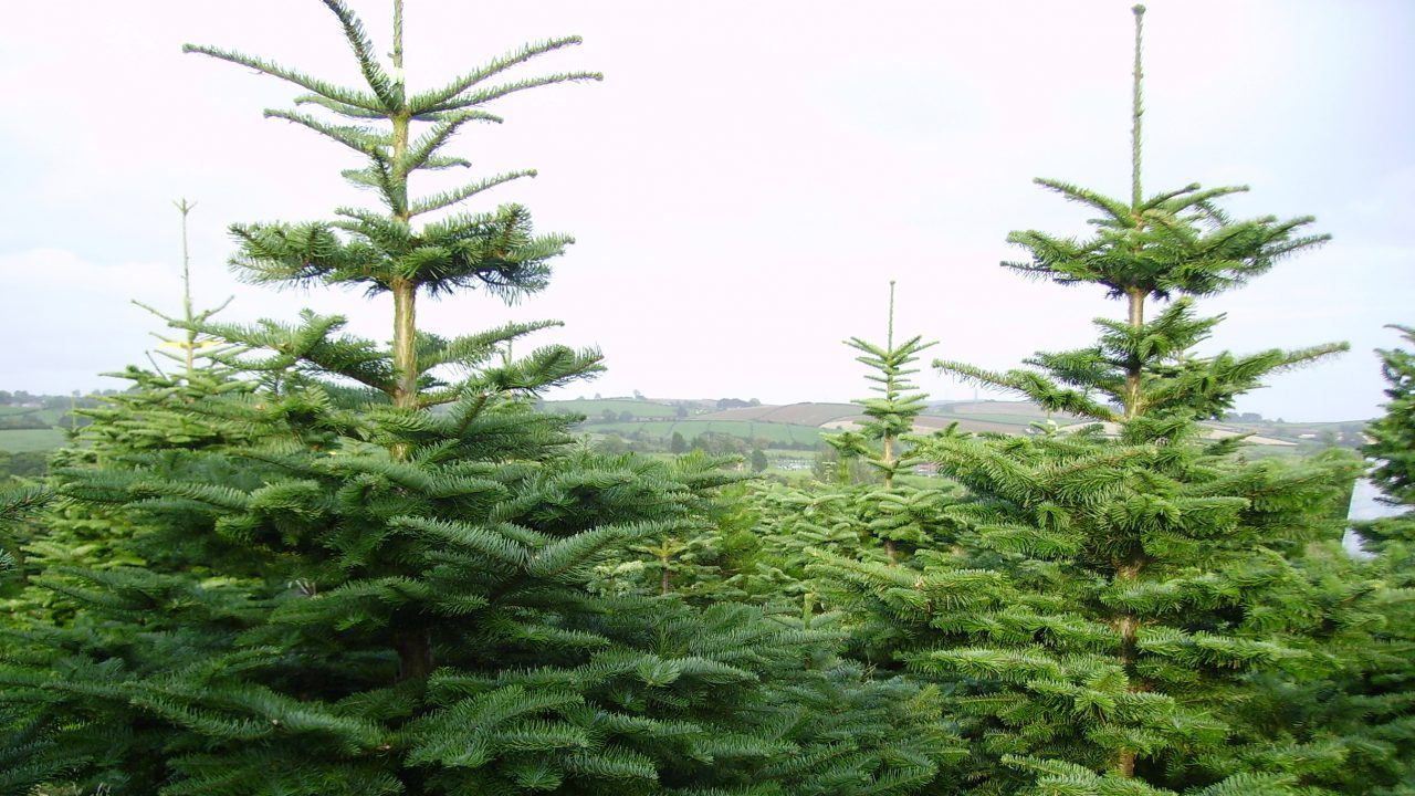 Top tips for maintaining your Christmas tree this festive season