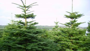Here's how many Christmas trees Ireland will harvest this year