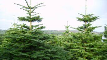 Consumers encouraged to buy an Irish tree this Christmas