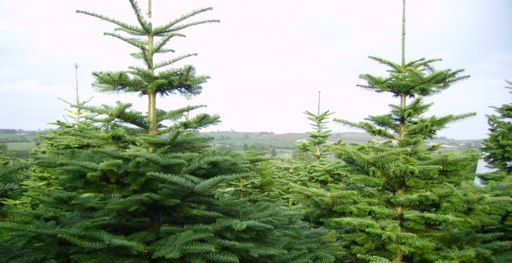 Consumers encouraged to buy an Irish tree this Christmas