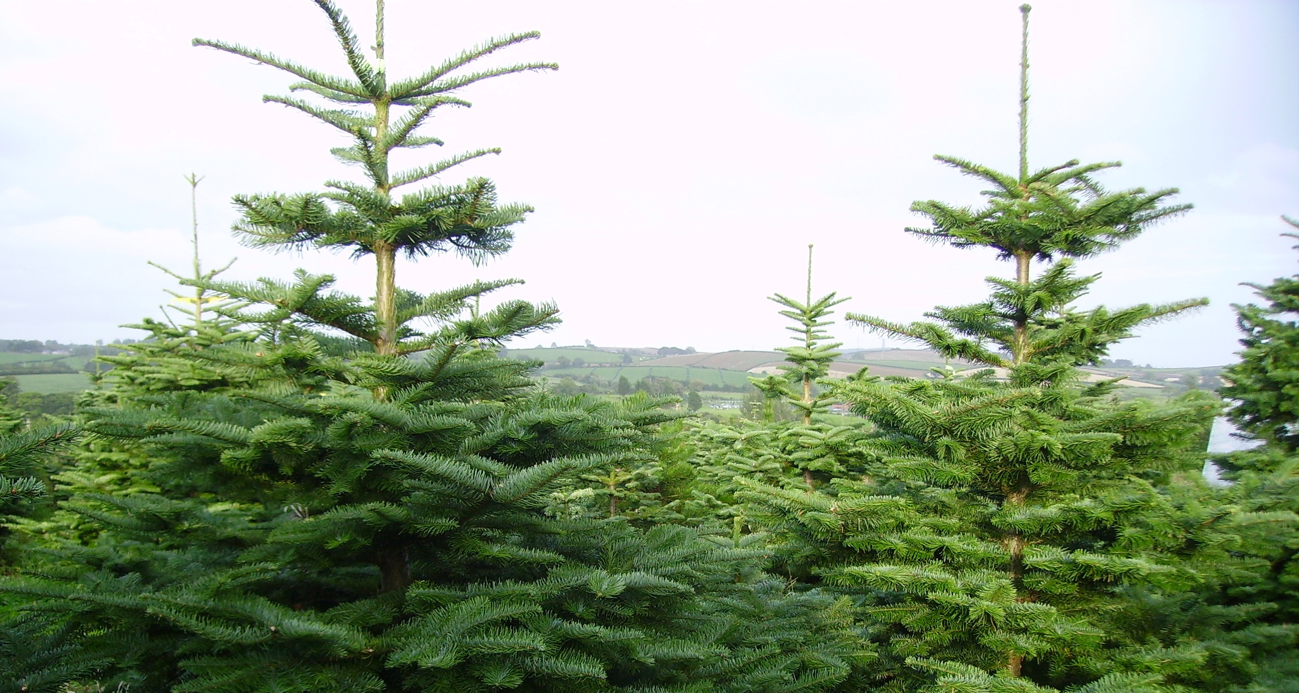 Here's How Many Christmas Trees Ireland Will Harvest This