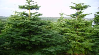 Some Christmas tree growers are sleeping out to protect their trees