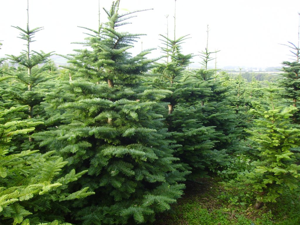 Real Christmas Trees Near Me.Looking For A Real Christmas Tree Then Look No Further
