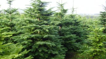 Looking for a real Christmas tree? Then look no further!