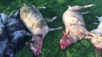 Warning Graphic Pics: Dog attack on pedigree sheep flock costs farmer €3,500