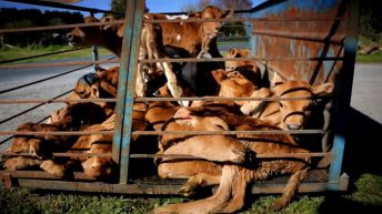 Shocking video footage puts spotlight on New Zealand's dairy industry