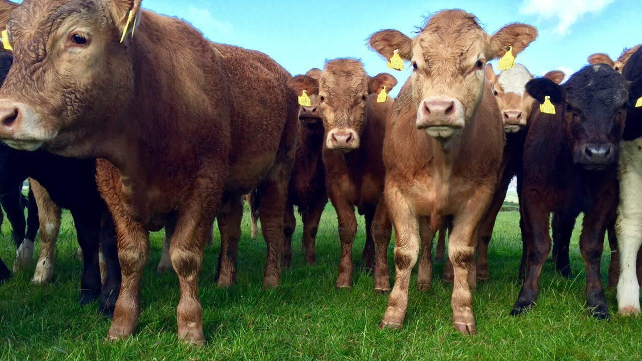 Irish beef exports to UK back 4% on September 2014