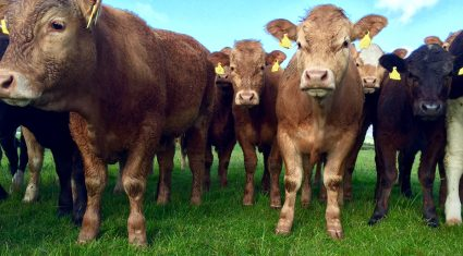 Irish beef exports to UK back 4% on September 2014