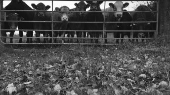 Cattle shot on Monaghan farm after receivers move in