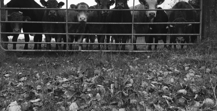 Eight cattle electrocuted by falling power line