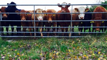 Cattle Marts – Plain cattle fall by €10-15/head in some venues
