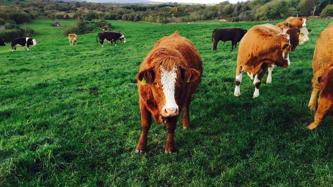 Poor weather conditions results in mixed cattle trade – Plainer lots difficult to sell