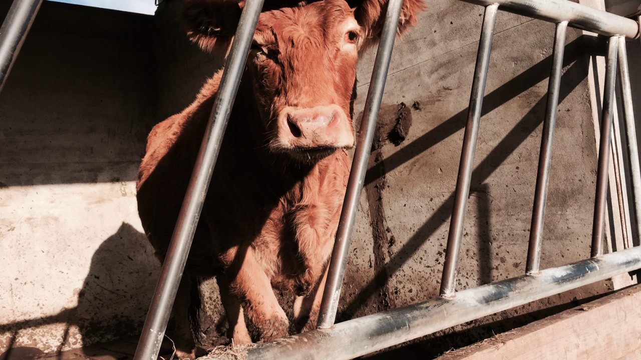 'Fragile export markets undermining benefits of a reduced beef kill'
