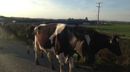 'Herds of 150 cattle or more are 50% more likely to suffer TB outbreak'