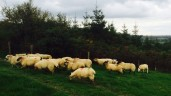 Are my ewe lambs heavy enough for breeding?