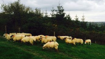 Do you have a breeding policy or do ewe lambs arrive on your farm by chance?