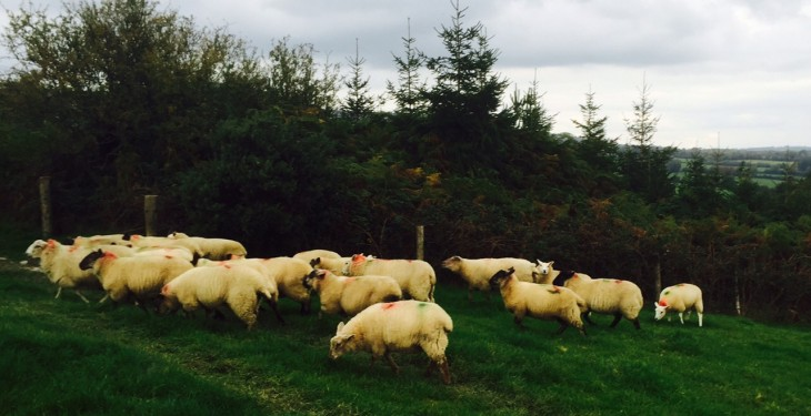 'Farmers should have their eyes open when breeding ewe lambs'
